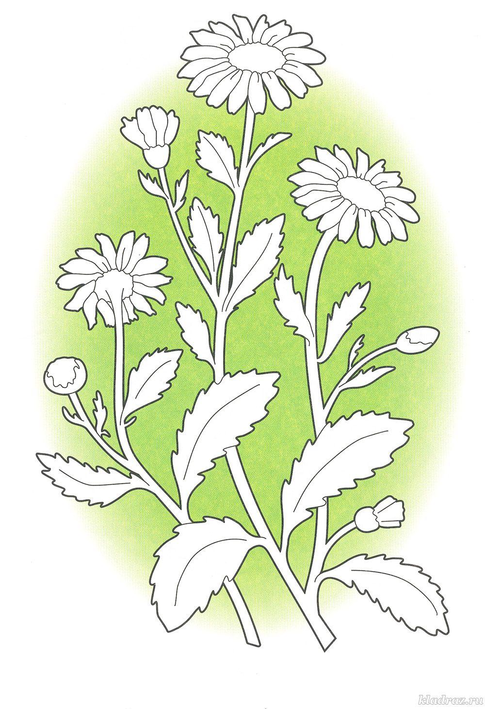Раскраски для детей. Полевые и луговые цветы