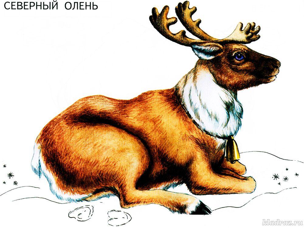 Картинка для детей. Северный олень