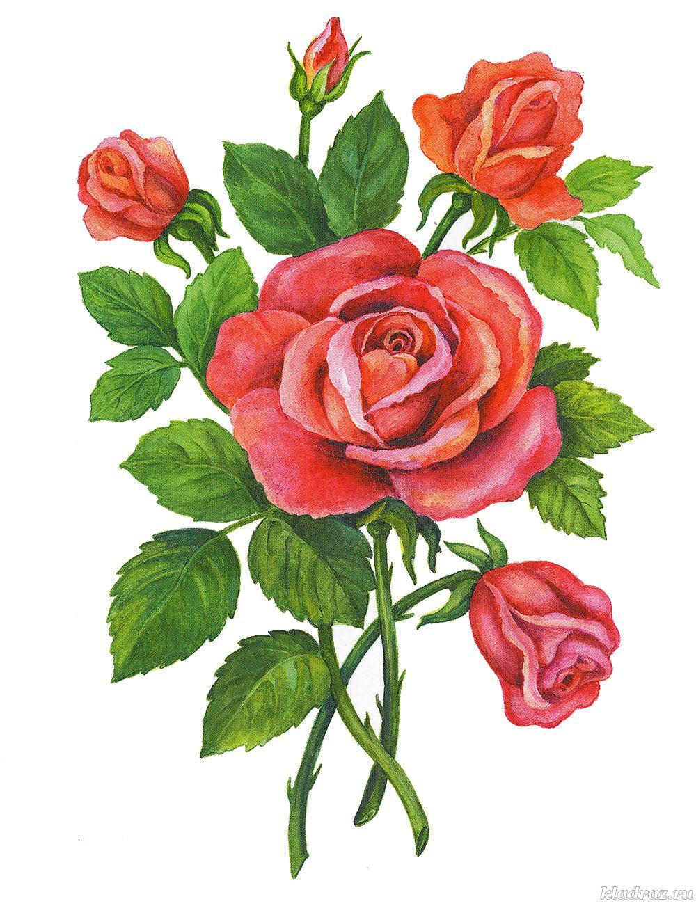 Картинки для детей. Розы