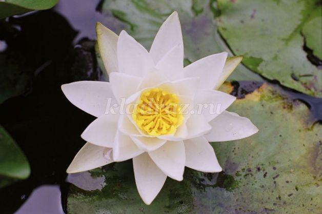 9187_f7628758a2779916b01df9f6f1bb085c Объемная водяная лилия из бумаги для детей и цветы в той же технике своими руками. Как сделать своими руками кувшинки из бумаги
