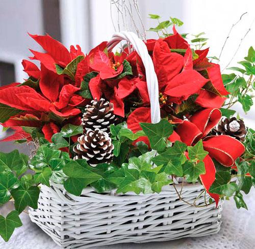 Рождественский подарок пуансеттия