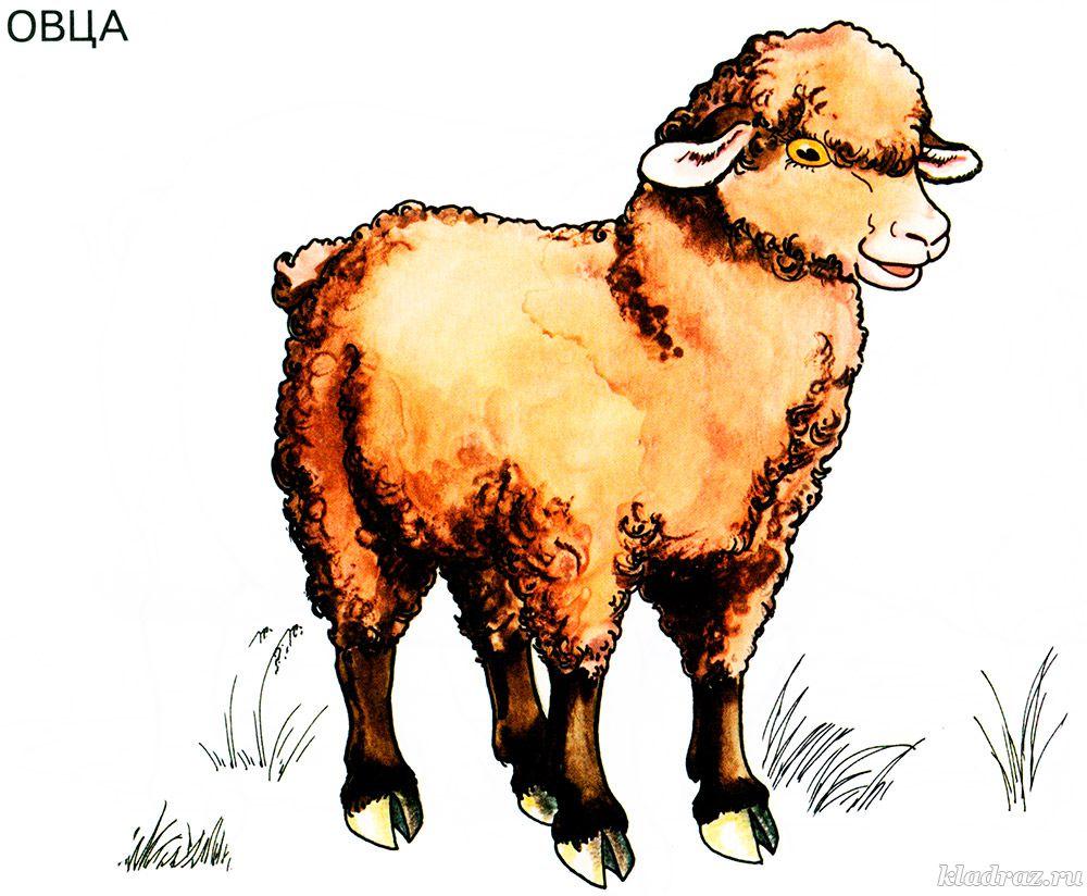 картинка для детей овца