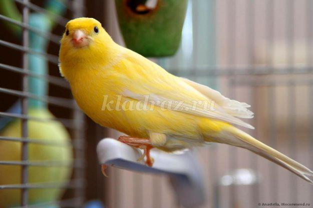 знакомство с декоративными птицами занятие в средней группе