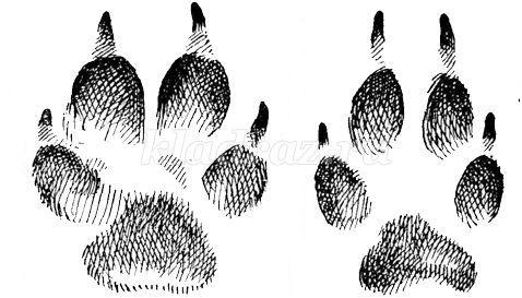 Конспект НОД в средней группе. Дикие животные зимой След Лисы