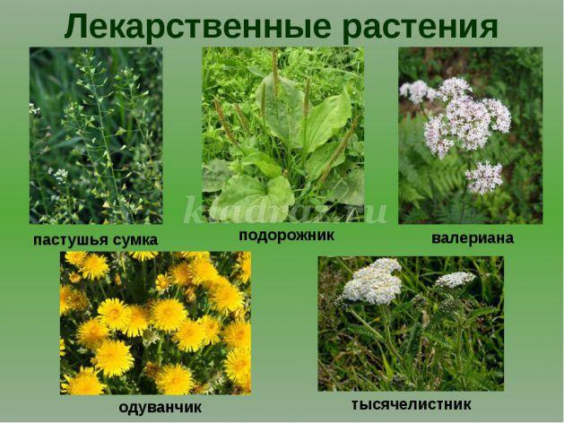 лекарственных восточно фото растений